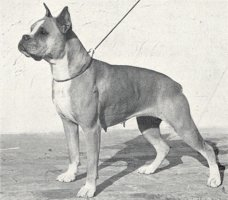Alma von der Frankenwarte - Photo from The Dog World Annual 1942, Page 125