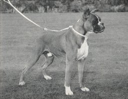 Frohlich von Dom - Right Side - Photo from OUR DOGS Christmas Number 1952, Pg 75