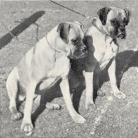 Stainburndorf Vanda and Wendy - Taken from Supplement to OUR DOGS 10 Dec 1937, Page 82