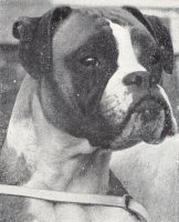CH Starmark Strawberry Fair - Head Shot - Photo from OUR DOGS Christmas 1960, Page 25